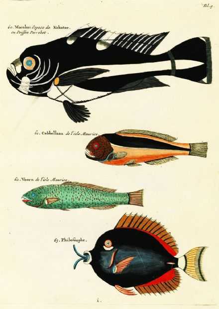 Renard, Louis: Illustrations of Marine Life Found in Moluccas (Indonesia). Art Print/Poster (4975)